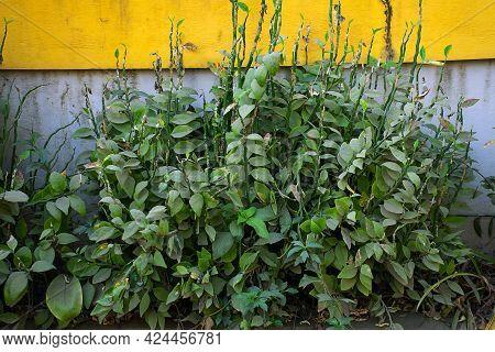Stock Photo Of Redbird Cactus Plant Or Euphorbia Tithymaloides, Devils Backbone, Christmas Candle Pl