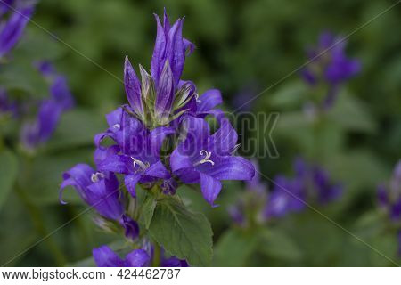Background Fresh Purple Flowers Bluebells Broadleaf In The Garden Among The Greenery