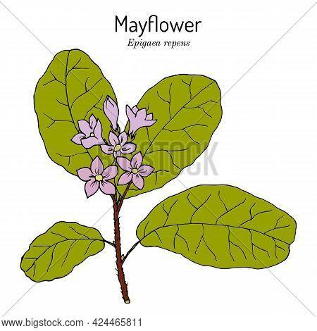 Mayflower Or Trailing Arbutus Epigaea Repens , State Flower Of Massachusetts. Vector Hand Drawn Illu
