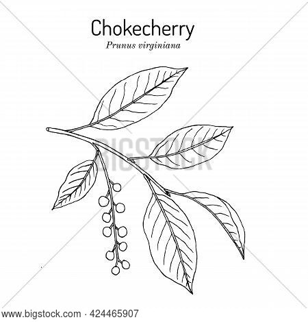 Chokecherry Prunus Virginiana The Official State Fruit Of North Dakota. Hand Drawn Botanical Vector