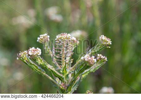 Close Up Of A Field Cress (lepidium Campestre) Plant In Bloom
