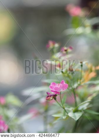 Pink Rose Flower Blooming In Garden Blurred Of Nature Background, Copy Space Concept For Write Text
