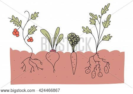 Vegetable Plot With Tomato, Beetroot, Carrot And Potato Vector Cartoon Illustration Isolated On A Wh