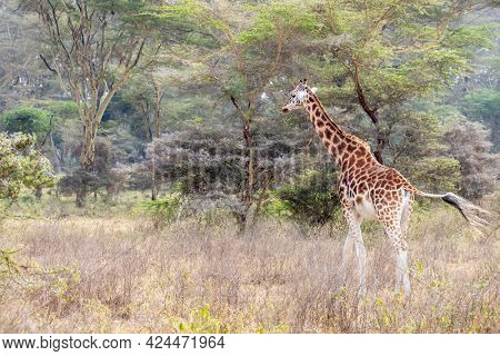 Rothschild's Giraffe, giraffa camelopardalis rothschildi, walking amongst the fever trees of lake Nakuru National Park, Kenya.