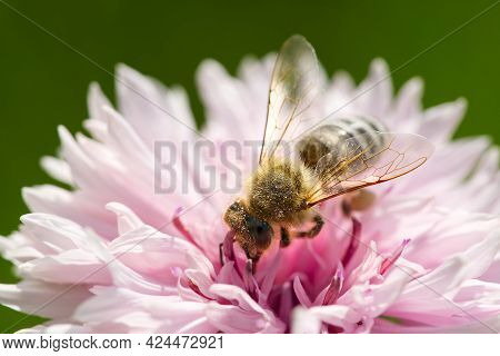 Bee Collects Pollen From A Cornflower. White Bee Cornflower, Close Up On Natural Background