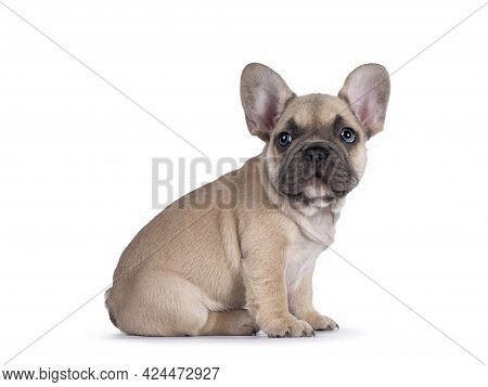 Adorable Fawn French Bulldog Puppy, Sitting Up  Side Ways. Looking Curious Towards Camera With Blue