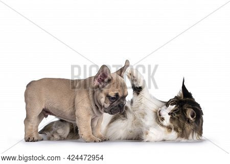Adorable Fawn French Bulldog Puppy, Standing Beside Maine Coon Cat. Playing Together. Isolated On A