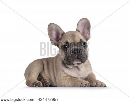 Adorable Fawn French Bulldog Puppy, Laying Down Side Ways. Looking Away From Camera With Blue Eyes.
