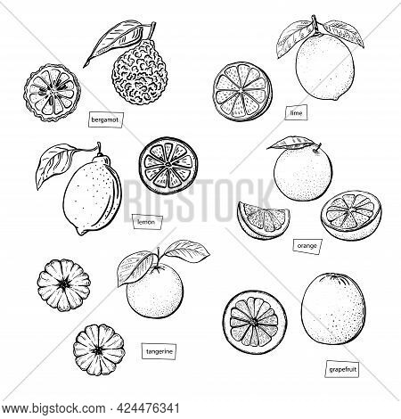 Citrus Sketch Set Drawn In Engraved Style On White Background. Lime, Orange, Mandarin, Bergamot, Gra