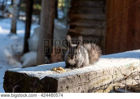 Gray Squirrel Siting Near Breadcrumbs On Wooden Log In Winter