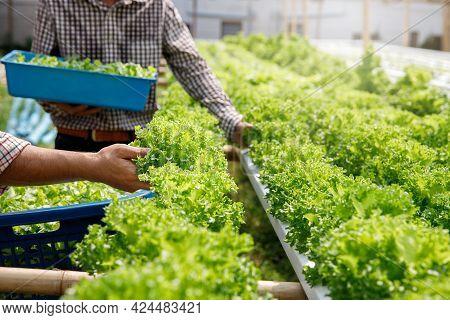 Farmers Harvest Organic Hydroponic Green Oak Lettuce In Plant Nursery Farm.