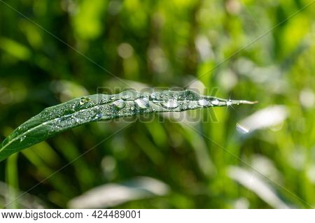 Water Drops On A Grass Against Blurred Background. Drops Of Dew With Sun Rays