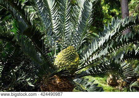 Cycad Encephalartos arenarius x trispinisus - ancient palm-like tropical and subtropical plant with large cone in Tropical garden in Funchal, Madeira island.