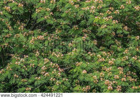 Large Mimosa Tree In Full Bloom With Light Airy Feathery Pink To Magenta Flowers On Branches With Lu
