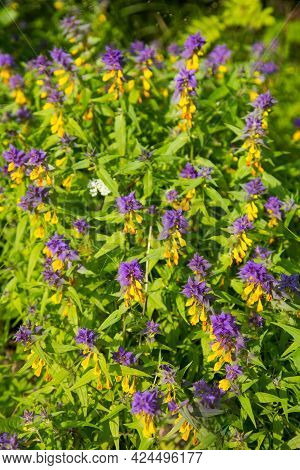 Glade Of Flowers Mariannik Dubravny (lat. Melampyrum) Or Ivan-da-marya Lilac And Yellow Colors In Th