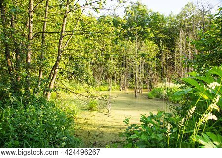 View Of A Swamp With A Film Of Aquatic Plants In The Rays Of The Setting Sun In Summer. Flora Landsc