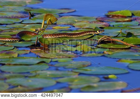 The Grass Snake (natrix Natrix), Sometimes Called The Ringed Snake Or Water Snake Crawling On The Le