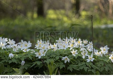 Beautiful Snowdrops In Spring Forest. Tender Spring Flowers Snowdrops With Water Drops Harbingers Of