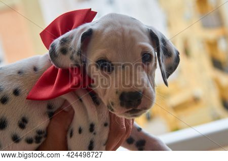 A Pretty Dalmatian Puppy With A Red Bow On His Neck