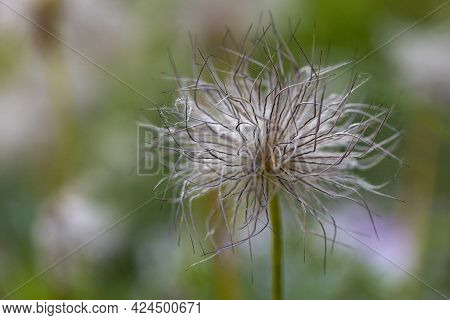 Seeds Of The Pasque Flower Anemone Patens L. Ranunculaceae In A Stone Garden
