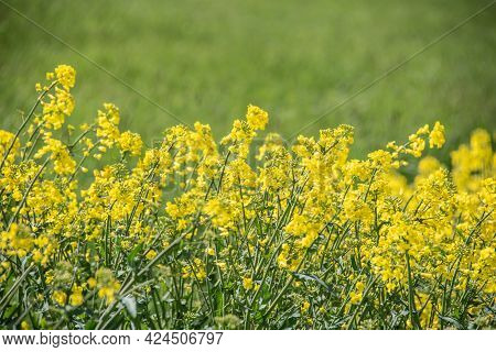 Yellow Flowering Oilseed Rape In A Field On A Sunny Day In Springtime