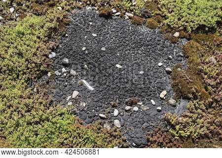 Blister Formation At A Damaged Roof Felt On A Green Roof Grown With Succulents