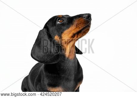 Portrait Of Lovely Patient Dachshund Puppy Sitting With Head Up And Looks At Something Or At Someone