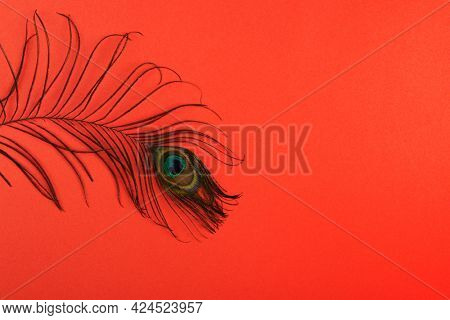 Peacock plume on color paper background