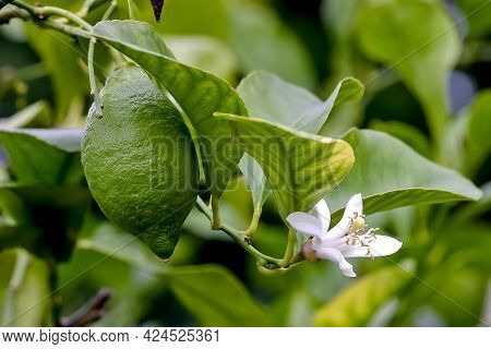 Flower And Still Green Fruit Of Lemon (citrus Limon, Rutaceae) On Bush In Early Summer, Bavaria, Ger