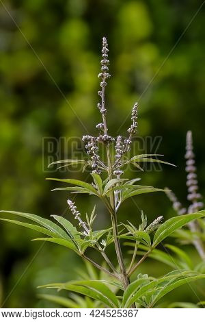 Buds, Leaves And Stem Of The Monk's Pepper (agnus Castus) Carduus Marianus In Early Summer, Bavaria,