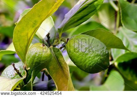 Two Still Green Fruits Of Lemon (citrus Limon, Rutaceae) On Bush In Early Summer, Bavaria, Germany,