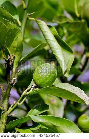 Still Green Fruit Of Lemon (citrus Limon, Rutaceae) On Bush In Early Summer, Bavaria, Germany, Europ