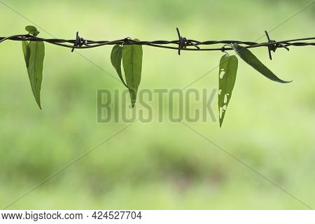 Native Asian Climbing Plants Vine Leaves Using Barbed Wire Fence Instead Of Native Trees And Bushes
