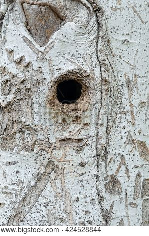 A Thick Tree Trunk With A Round Hole.  Poplar A Beautiful Bark Texture And A Round Deep Hollow Where