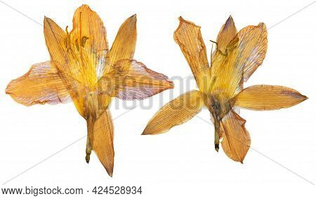 Pressed And Dried Orange Flower Day Lily Isolated On White Background. For Use In Scrapbooking, Flor