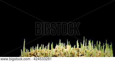 Fresh wheat grass on white  Growing grass isolated