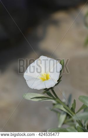 Shrubby Bindweed White Flower - Latin Name - Convolvulus Cneorum
