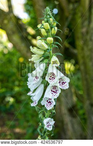 Foxglove flowerhead, Digitalis purpurea 'Alba' in a garden