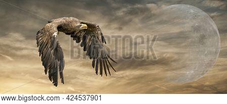 European Sea Eagle Flying In An Impressive Yellow Gold Sky With. Bird Of Prey In Flight. Flying Bird