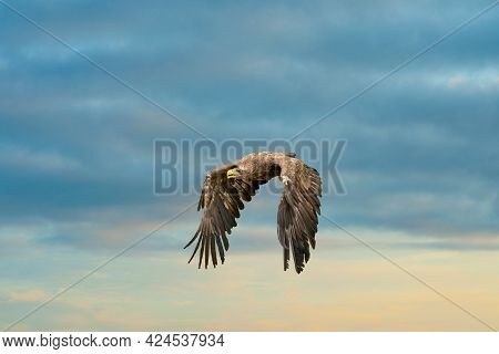 European Bald Eagle Flies In Front Of Blue Cloudy Sky. Flying Bird Of Prey During A Hunt. Outstretch