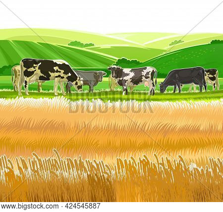 A Herd Of Cows Grazes Among The Rural Hills. Pastures. Meadows And Wheat Fields. Rustic Village Land