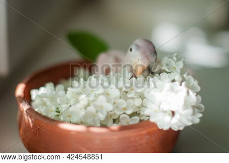 The Rose-ringed Or Ring-necked Parakeet Baby With White Flowers