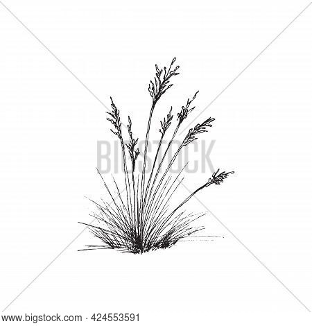 Bunch Of Fescue Grass Plant Common Blue Fescue In Engraving Style.