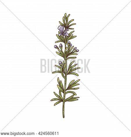 Rosemary Herb Plant Branch, Botanical Drawing With Flower