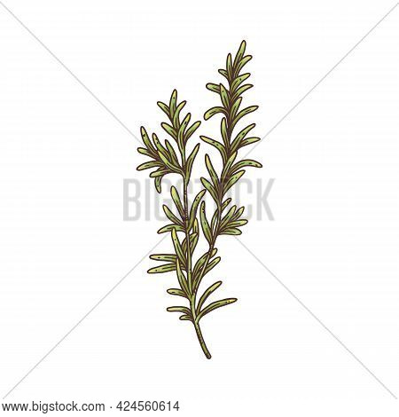 Rosemary Plant Branch With Two Twigs - Isolated Drawing Of Herb