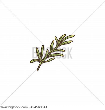 Green Fresh Rosemary Sprigs Colored Engraving Vector Illustration Isolated.