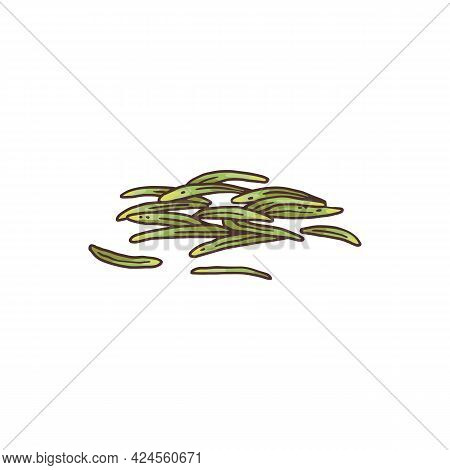 Fresh Rosemary Narrow Leaves, Colored Engraving Vector Illustration Isolated.