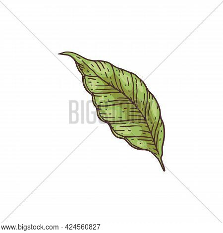 Cocoa Plant Leaf - Cartoon Hand Drawn Green Cacao Tree Foliage Element