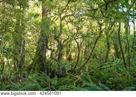 Dense thicket in the temperate rainforest, Fiordland National Park, South Island , New Zealand.