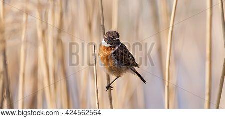 European Stonechat Bird Sitting On A Reed. Web Banner, Birdwatching Concept.